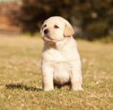 O filhote de cachorro branco de Labrador senta-se na grama Imagem de Stock