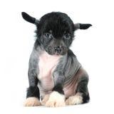 O filhote de cachorro com crista chinês do cão senta-se isolado no branco Imagens de Stock