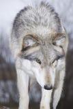 Lobo vermelho Imagem de Stock Royalty Free