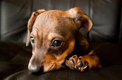 O filhote de cachorro do Dachshund olha-o. Fotografia de Stock