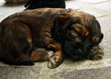 O filhote de cachorro do sono Foto de Stock Royalty Free