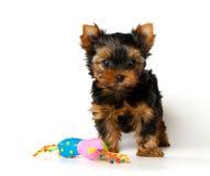 O filhote de cachorro do terrier de Yorkshire com um brinquedo Fotos de Stock Royalty Free
