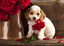 O filhote de cachorro e a flor do Spaniel de Cocker levantaram-se imagens de stock