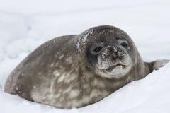 O filhote de cachorro grande Weddell sela o encontro na neve perto do Fotos de Stock