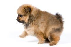 O cachorrinho no estúdio imagem de stock royalty free