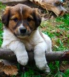O filhote de cachorro o mais bonito Fotografia de Stock