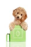O filhote de cachorro pequeno da caniche do alperce está em uma caixa de presente fotos de stock royalty free