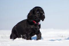 O filhote de cachorro preto de cocker spaniel anda na neve Fotografia de Stock