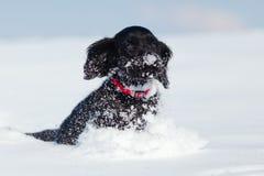 Funcionamentos do filhote de cachorro de cocker spaniel através da neve Fotografia de Stock