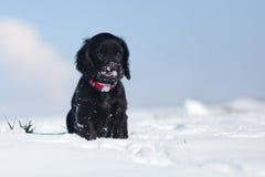 O filhote de cachorro só de cocker spaniel senta-se na neve imagens de stock royalty free