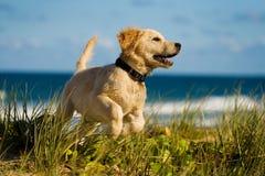 O filhote de cachorro que salta na praia foto de stock