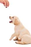o filhote de cachorro velho do retriever de Labrador de 2 meses quer jogar Imagens de Stock Royalty Free