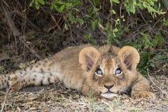 O filhote de leão brincalhão olha acima no céu Foto de Stock