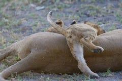 O filhote de leão brincalhão rasteja sobre sua mãe Fotos de Stock Royalty Free