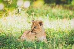 O filhote de leão está relaxando na grama em Masai Mara em África imagens de stock royalty free