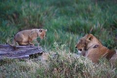 O filhote de leão olha o mum Fotos de Stock Royalty Free