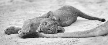 O filhote de leão pequeno estabelece para descansar na areia de Kalahari e no jogo macios w imagens de stock