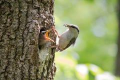 O filhote de passarinho com fome pede o alimento de seu pai O pica-pau-cinzento de madeira traz o alimento para pintainhos no bic Imagem de Stock