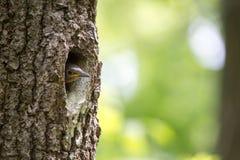 O filhote de passarinho do pica-pau-cinzento espera a alimentação na cavidade do carvalho Europaea do Sitta do pássaro da florest Fotos de Stock