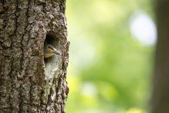 O filhote de passarinho do pica-pau-cinzento espera a alimentação na cavidade do carvalho Europaea do Sitta do pássaro da florest Imagens de Stock