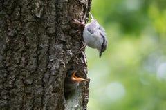 O filhote de passarinho do pica-pau-cinzento pede alimentando Os pássaros adultos guardam seu ninho e alimentam pintainhos Imagens de Stock
