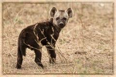 O filhote de uma hiena Fotografia de Stock Royalty Free