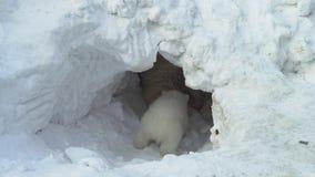 O filhote de urso branco senta-se perto de seu ela-urso em uma toca da neve filme