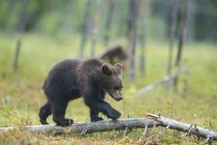 O filhote de urso está jogando Imagens de Stock Royalty Free