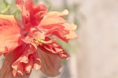 O fim acima da flor vermelha bonita pode ser chamado hibiscus rosa, porcelana Imagens de Stock