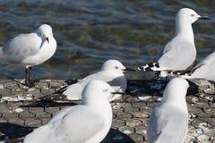 O fim acima da imagem das gaivotas toma um resto Foto de Stock Royalty Free