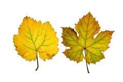 O fim acima da videira sae no outono, isolado no fundo branco Imagem de Stock Royalty Free