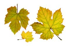 O fim acima da videira sae no outono, isolado no fundo branco Imagens de Stock