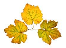 O fim acima da videira sae no outono, isolado no fundo branco Imagens de Stock Royalty Free