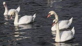 O fim acima das cisnes brancas nada e enfileira na água video estoque