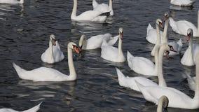 O fim acima das cisnes brancas nada e enfileira na água vídeos de arquivo