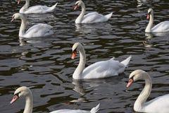 O fim acima das cisnes brancas nada e enfileira na água fotos de stock