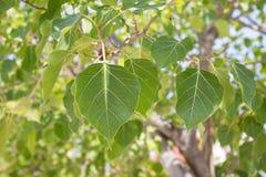O fim acima das folhas de árvore de figo sagrado, igualmente chama a árvore de Peepal Fotos de Stock Royalty Free