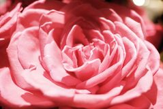 O fim acima das rosas cor-de-rosa bonitas floresce em um ramalhete da flor imagem de stock royalty free