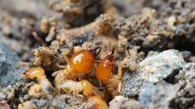 O fim acima das térmitas macro da natureza ou as formigas brancas destruídas preparam o solo e a ruptura de defesa para o ninho n filme