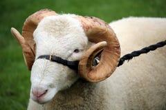 O fim acima de um carneiro masculino da ram com os grandes chifres encaracolado em um couro e a corda freiam Fotografia de Stock