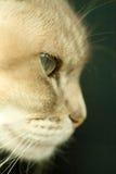 Gato Siamese do ponto azul foto de stock