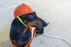 O fim acima do bassê do construtor do cão em um capacete alaranjado da construção senta-se em fios em um fundo cinzento concreto imagens de stock