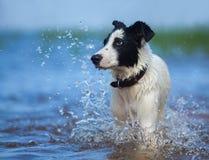 O fim acima do retrato de cão misturado da raça com espirra Imagem de Stock