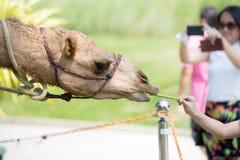 O fim acima dos camelos come da mão no jardim zoológico de Tailândia Fotos de Stock