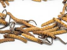 O fim acima dos cordyceps do cogumelo isto é ervas Propriedades medicinais no tratamento das doenças Imagens de Stock