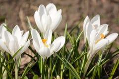 O fim branco bonito da flor do açafrão acima grama na primavera Foto de Stock Royalty Free