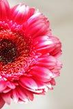 O fim cor-de-rosa do gerber acima Fotos de Stock Royalty Free