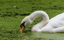 O fim da cabeça da cisne acima nas algas cobriu a água fotos de stock royalty free
