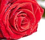 O fim da rosa do vermelho levanta Imagem de Stock Royalty Free