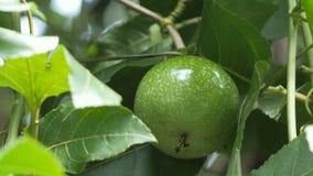 O fim disparou acima na nutrição alta verde da vitamina do fruto de paixão da natureza fresca vídeos de arquivo